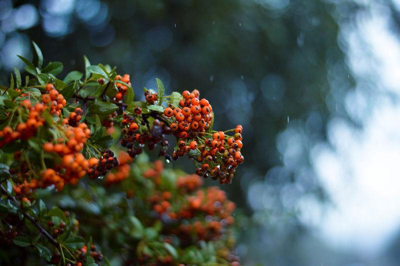 Low angle view of rowan berries growing in rainy season