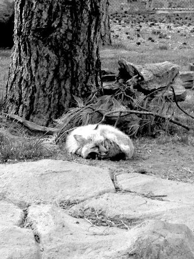 Frenchphotographer Nature USA Fox Redfox Black & White