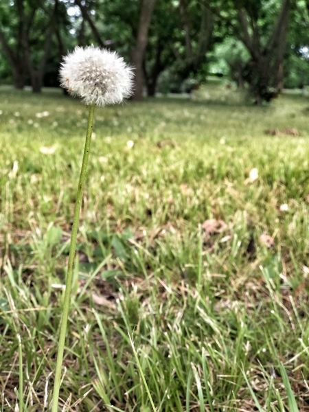 Dandy Plant Field Land Growth Grass Flower Flowering Plant Nature Beauty In Nature Focus On Foreground Dandelion Outdoors Close-up Freshness Green Color Tranquility