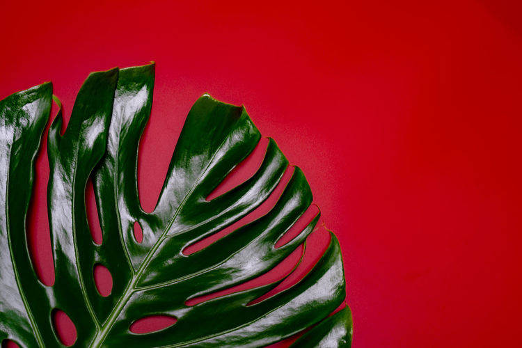 passionate of red and green color by big monstera leaf on super red space background Decoration Plant Part Wall - Building Feature Multi Colored Red Background Pattern Creativity Art And Craft Celebration Green Color Shape Of Monstera Monstera Leaf Beauty Of Nature Crazy Red Super Red Skull Giant Monstera Leaves Fashion Backgrounds