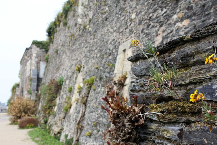 Flowers growing on a Wall Flowers Growing On A Wall Rock Wall Close-up Day Lichen Moss Nature No People Outdoors Rock - Object