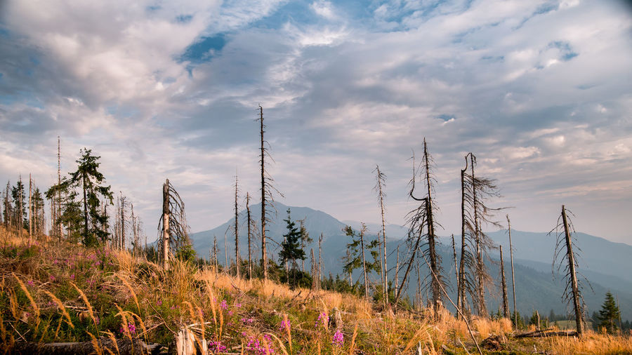 Landscape of dead woods on slope of mountainsDead deceased trees on beautiful mountain Cloud - Sky Plant Sky Beauty In Nature Tranquil Scene Tranquility Scenics - Nature No People Nature Growth Tree Land Non-urban Scene Environment Landscape Field Day Outdoors Mountain Idyllic Dead Plant