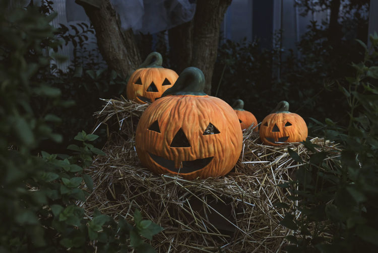 View of pumpkins on plants during halloween