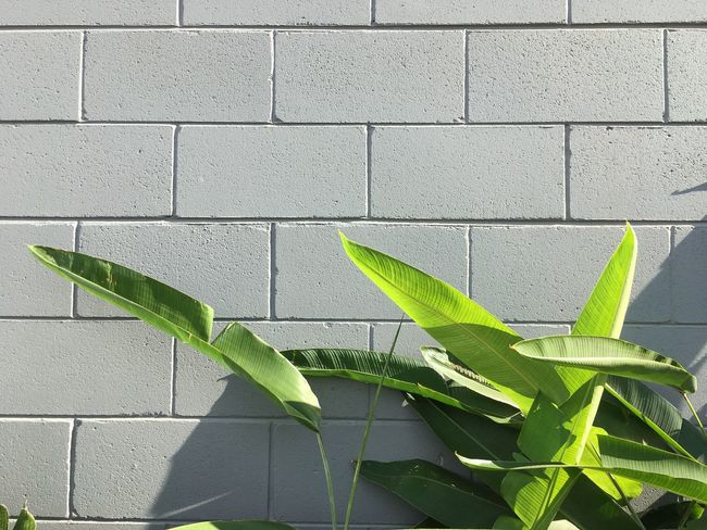 Green leaves against a grey bricks wall. Leaf Green Color Wall - Building Feature Growth Plant Brick Wall No People Outdoors Day Nature Chlorophyll Urban Nature