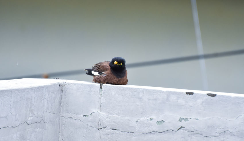 Beauty In Nature Bird Blackbird Close-up Day Myna Nature No People Outdoors Perching Songbird