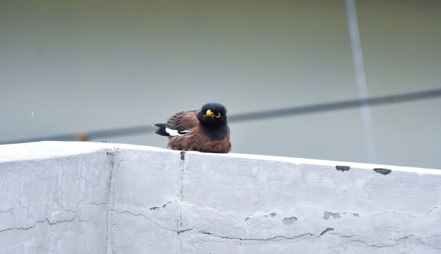 Close-up of myna bird perching on wall