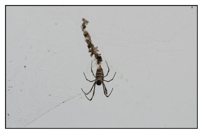 2015  Spider