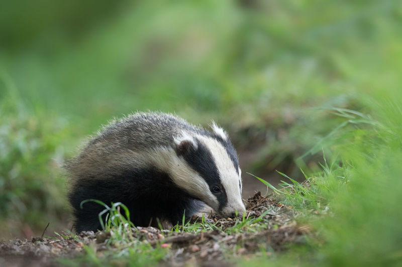 Close-up of badger in the wild