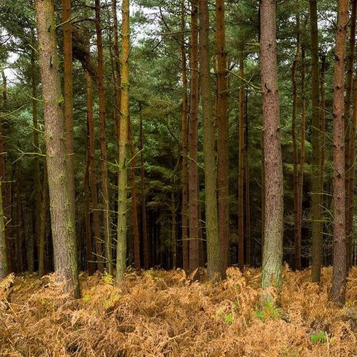 Pines Forest Trees PeakDistrict Nature Photography Hiking