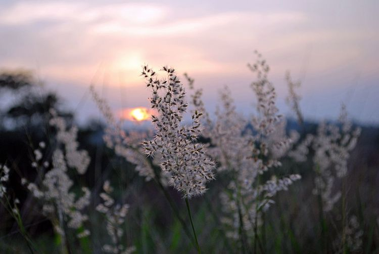 Close-Up Of Flowering Plant On Field During Sunset