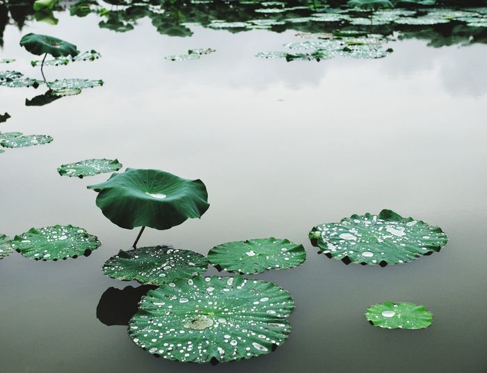 majiadu village Water Green Color Leaf Lake Nature Growth Beauty In Nature Leaves EyeEm EyeEm Best Shots Leicacamera Leicam China HuBei