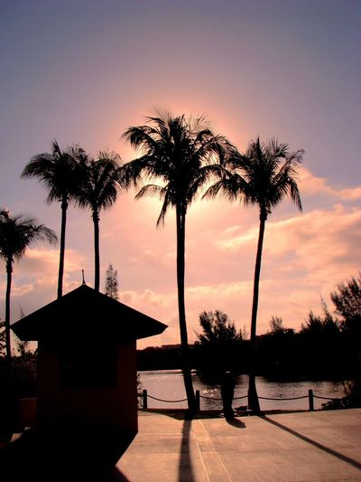 Sunset Tree palms