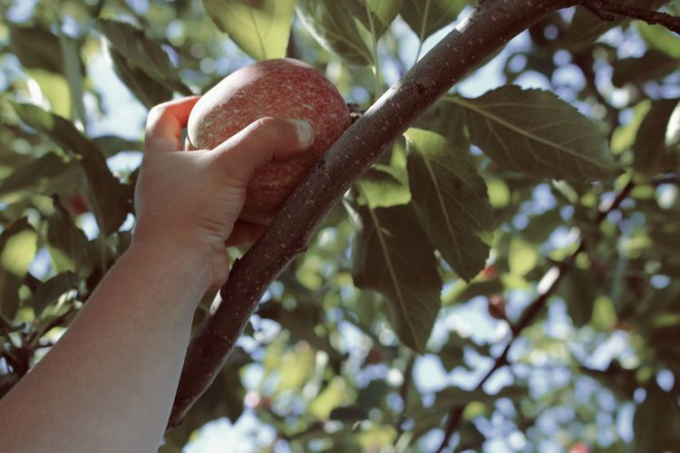 Tree Close-up Branch Growth Freshness Nature Agriculture Live, Love, Laugh Little Moments Apples Fun Outdoors Joy Emotion Beauty Apple Tree Yummy Honeycrisp