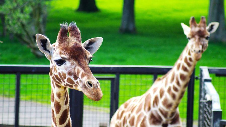 Portrait of giraffe standing in zoo