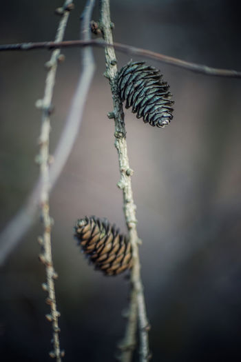 Close-up of pine cone on twig
