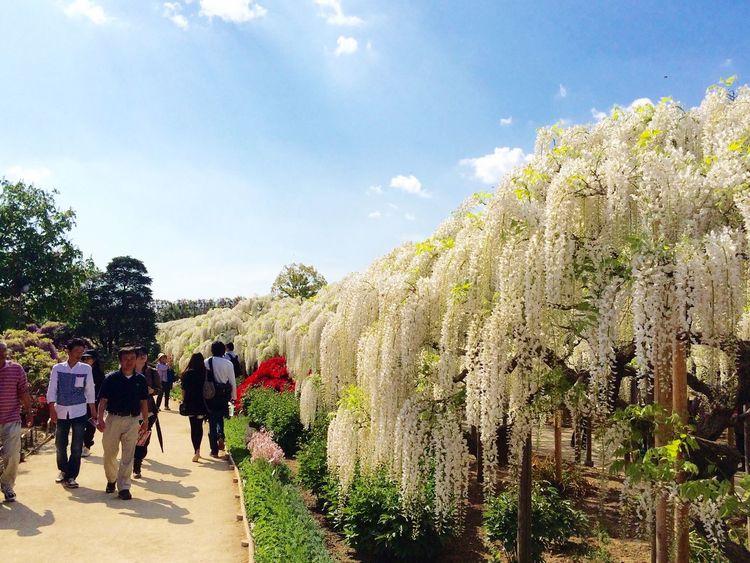 Wisteria Ashikaga Flower Park Travel Destination 9 Places Of The World Of Dream White EyeEm Flower Flowers Flower Japan 2015.4.30. あしかがフラワーパーク✨白藤(ღ˘⌣˘ღ)✨
