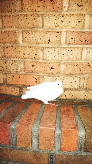 Pigeon Cute Nature Animal Blockhead