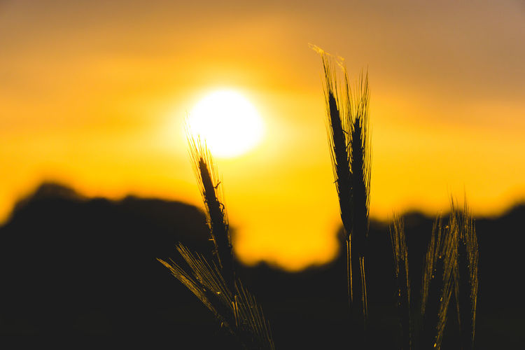 Sunset Sky Beauty In Nature Plant Close-up Sun Growth Tranquility Nature Crop  Orange Color Cereal Plant Focus On Foreground Scenics - Nature No People Agriculture Sunlight Tranquil Scene Outdoors Field Stalk Bright Brightly Lit EyeEm Best Shots EyeEm Selects EyeEm Nature Lover EyeEm Gallery My Best Photo