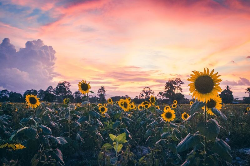 Sunflowers in vanilla sky at Walailak university,Nakhon Si Thammarat Vanilla Vanilla Sky Walailak University Wu Nakhon Si Thammarat Thai Thailand Landscape Flower Growth Field Nature Beauty In Nature Plant Sunset Dramatic Sky Sunflower Sky Cloud - Sky Yellow Outdoors Rural Scene Flower Head No People Petal Fragility Tranquility Freshness First Eyeem Photo