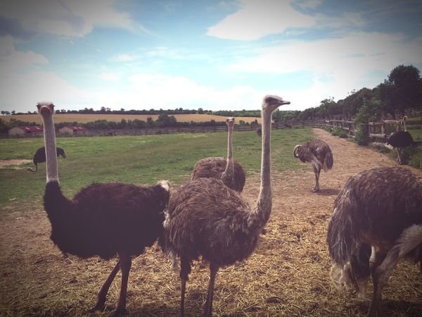 Ostrich Animal Themes Sky Bird No People Nature Landscape Day Animals In The Wild Animal Wildlife Field Outdoors Grass Beauty In Nature Emu