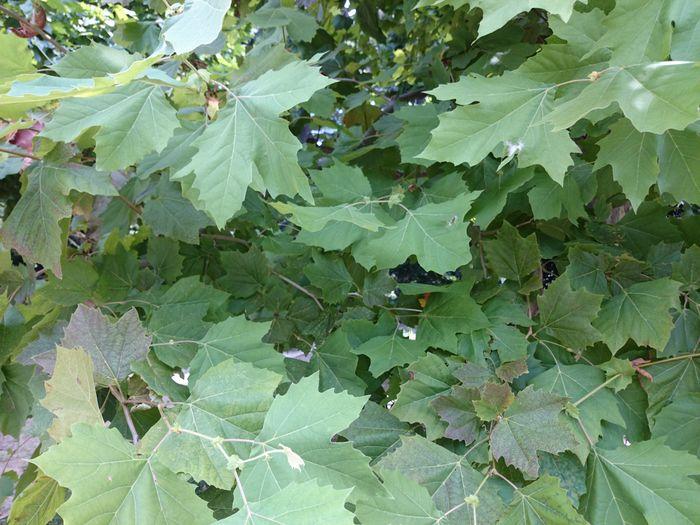 Green Platanus Shinjuku-gyoen Tokyo,Japan Leaf Full Frame Close-up Green Color Leaves Growing Young Plant