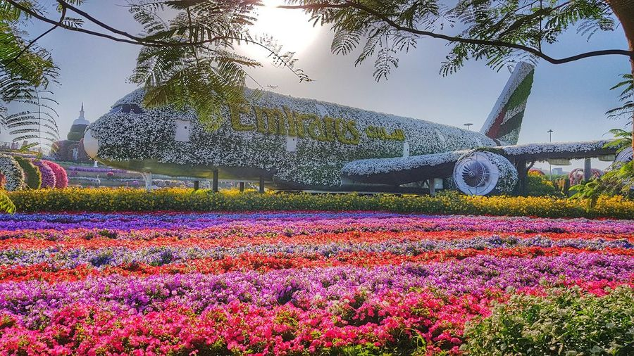 Emirates Airbus A380 the world largest flowers structure awarded by Guinnes World Record at Miracle Garden, Dubai (United Arab Emirates) Petunia MiracleGarden Dubai Emirates Emiratesairline Fly Emirates Guinness World Record Largest Floreal Structure Flower Tree Flowerbed Sky Grass Plant Blooming Scenics