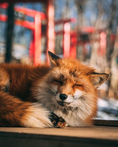Sleepy Snow Orange Color Red Japan Photography Japan Animal Fox Cutie One Animal Animal Themes Animal Mammal Pets Domestic Domestic Animals Feline Cat No People Domestic Cat Vertebrate Close-up Focus On Foreground Relaxation Animal Body Part Portrait Animal Head  Day Looking At Camera