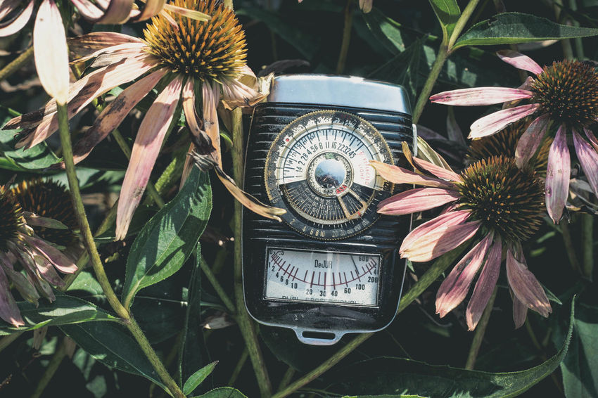 Blue Tones Coneflowers Pink Vintage Style Beauty In Nature Camera Equipment Coneflower Flower Fragility Light Meter New Edit No People Old Light Meter Outdoors Plant Technology Vintage Vintage Equipment