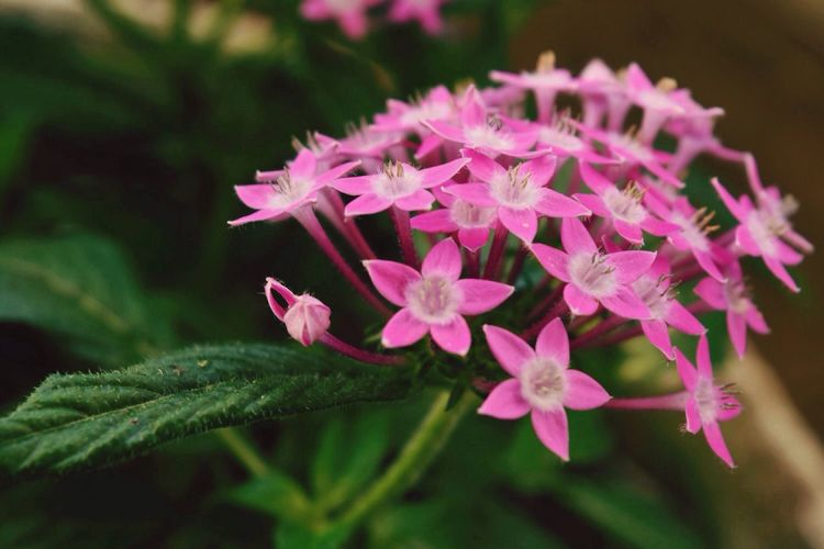 Flowers Beauty In Nature Pink Flowers Star Flower Flowers In My Garden EyeEm Nature Lover Beautiful Nature