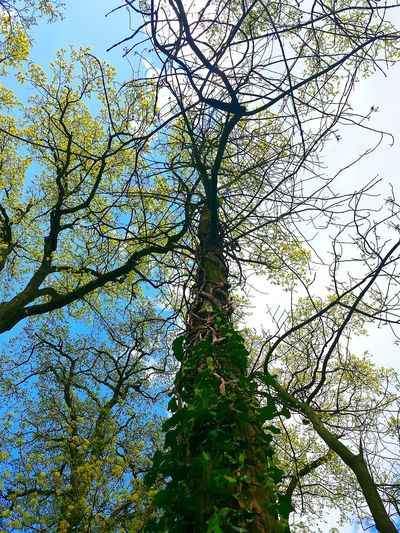 Hugging A Tree Hugging Trees Trees And Sky Trees Looking Up Through The Trees Looking Up From A Low Angle Höhe Efeu Auf Stamm Blue And Grey Sky Ladyphotographerofthemonth Showcase August Treetastic Tree Trunk Tree And Sky Beautiful View Height Heights Botanics Botany Eyeem Collection
