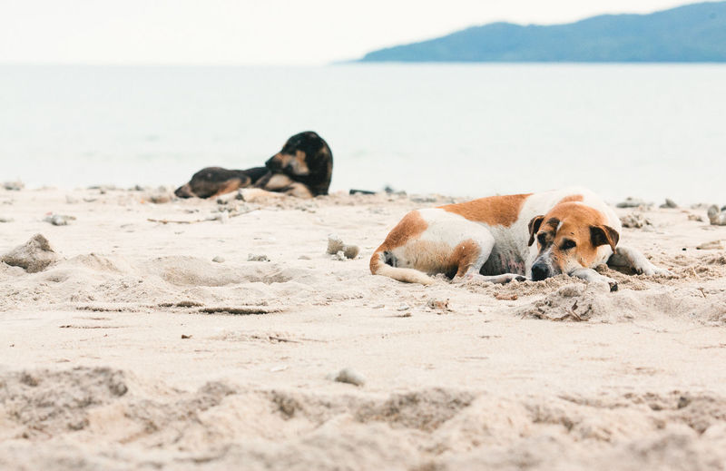 Dog Relaxing On Sand At Beach