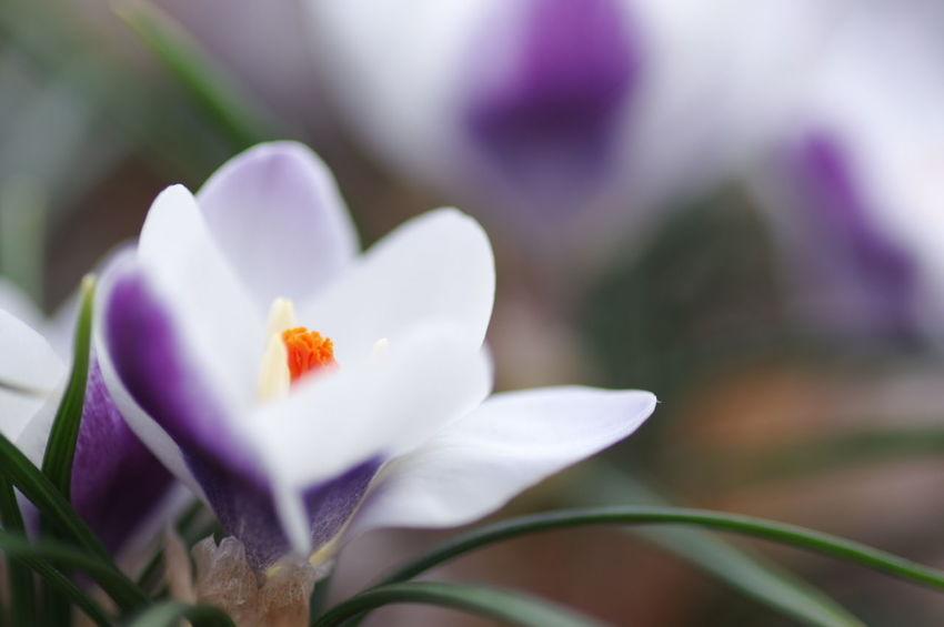 久々の花撮り。自宅庭の寒咲きクロッカス。 クロッカス Crocus Flower Flowers Flower Collection Nature Nature_collection Nature Photography White Flower Purple