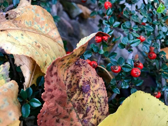 Red Autumn Beauty In Nature Brown Close-up Day Food Food And Drink Fragility Freshness Fruit Fruits Growth Healthy Eating Leaf Leaves Nature No People Outdoors Plant Rotten Tree Yellow
