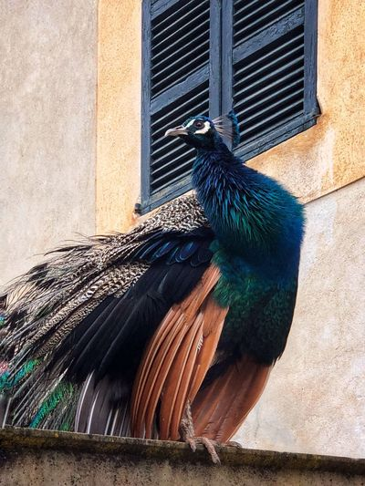 Close-up of peacock perching on wall