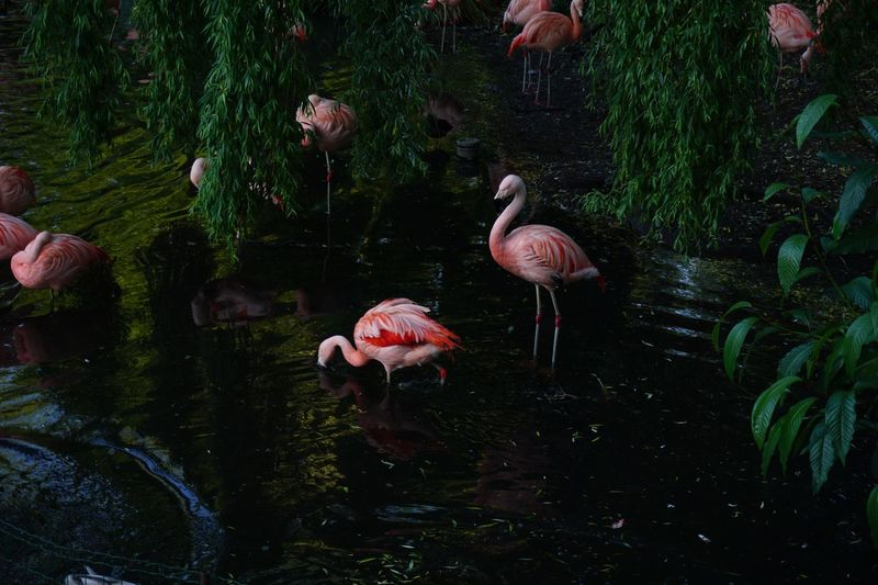 Flamingos in Amsterdam #travel #travelphotography #photography #animals #fenicotteri #flamingos Animal Wildlife Animal Animal Themes Vertebrate Animals In The Wild Flamingo Water Nature No People Pink Color Reflection Lake Outdoors Group Of Animals Plant Beauty In Nature Adventures In The City