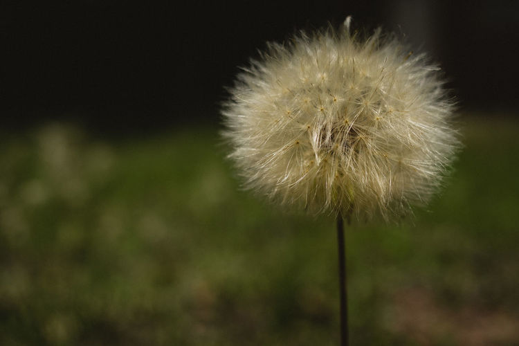 Flower Plant Flowering Plant Fragility Vulnerability  Close-up Freshness Beauty In Nature Dandelion Focus On Foreground Plant Stem Growth Nature Inflorescence No People Flower Head White Color Uncultivated Softness Outdoors Dandelion Seed