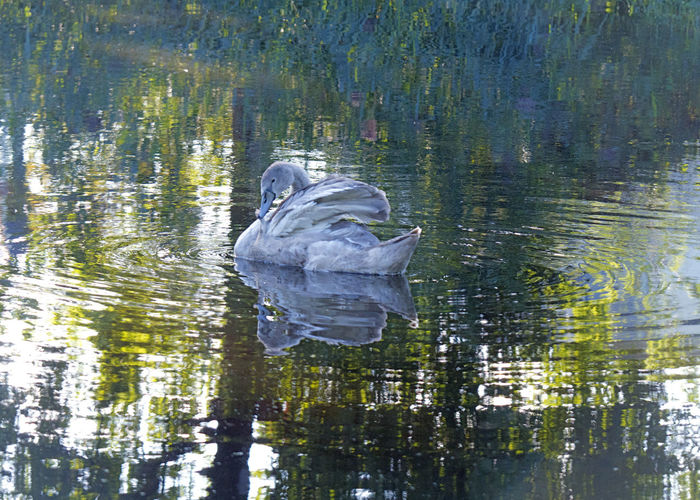 View of duck in lake