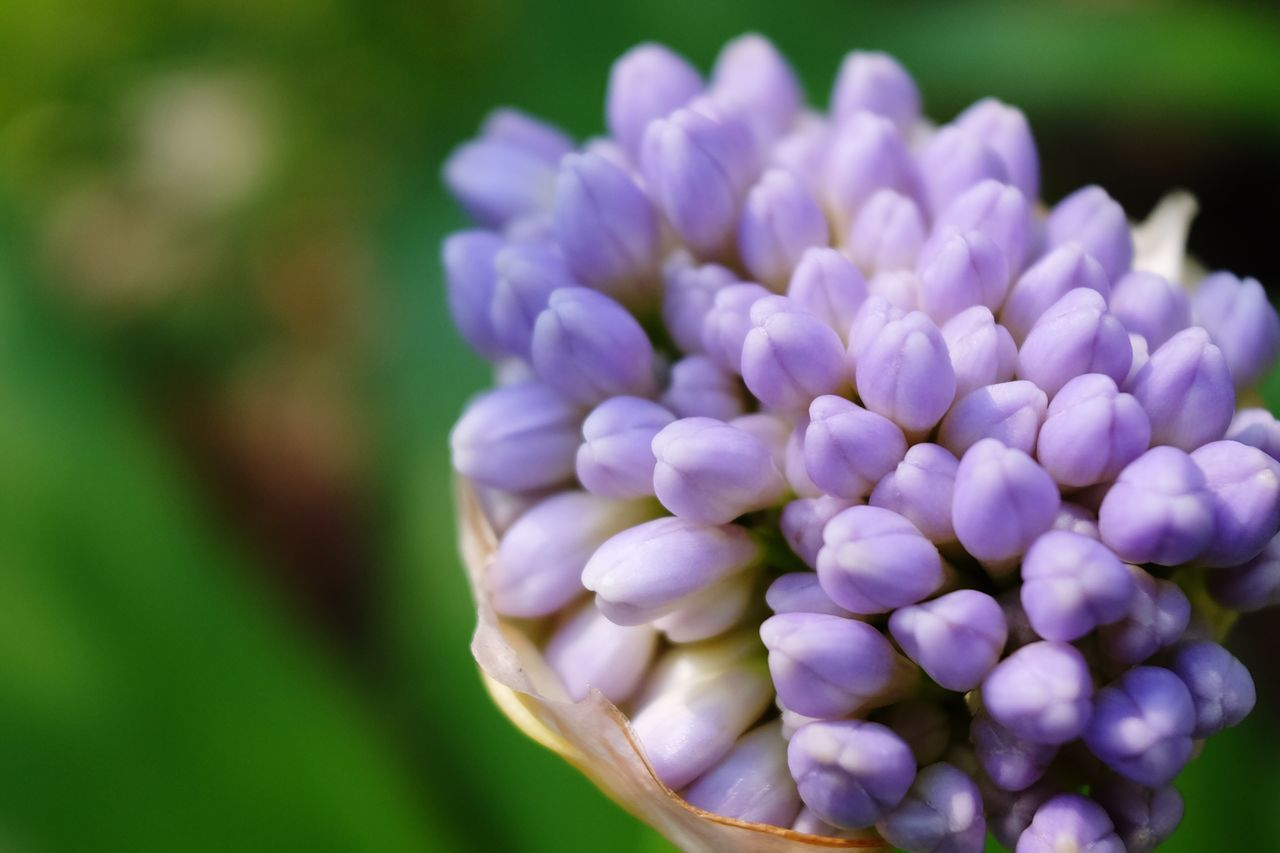Close-Up Of Fresh Purple Flowers Blooming Outdoors
