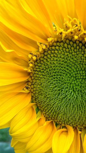 Sunflower Giant Sunflower Ray Flower Sunflower Head Helianthus Annuus Helianthus Flower Florets Petal Fragility Freshness Beauty In Nature Nature Yellow Green Color Close-up Pollen Flower Stamens Blooming No People Day Outdoors Full Frame Backgrounds November 2017 —
