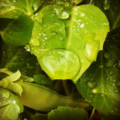 Peas Pods Droplets Containergardening eatyourgarden