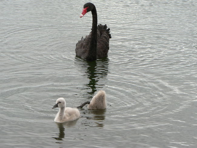 Black Swans Swan Cygnets Cygnus Atratus Animal Themes Animals In The Wild Lake Water Bird Nature Beauty In Nature Animal Waterbirds Wildlife Close-up Water Conservation Status Animal Behavior Togetherness Conservation Rippled Outdoors