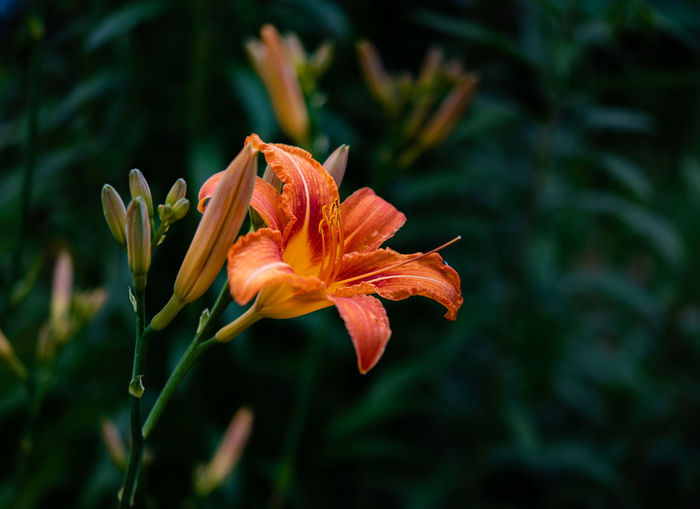 Close-up of orange day lily plant