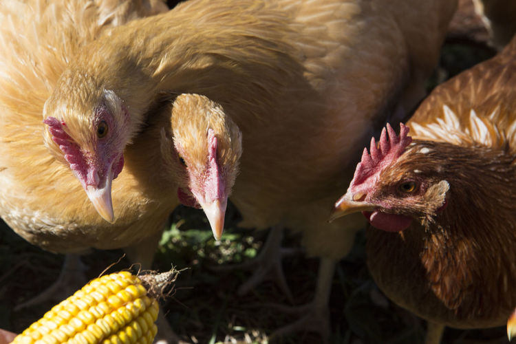Close-Up Of Hens On Field