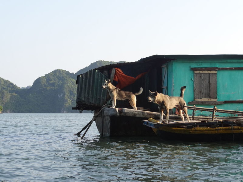 Ha Long Bay Ha Long Animal Animal Themes Architecture Built Structure Clear Sky Copy Space Day Domestic Domestic Animals Ha Long Bay Ha Long Bay Cruise Herbivorous Livestock Mammal Mountain Nature Nautical Vessel No People Outdoors Pets Sky Transportation Vertebrate Water