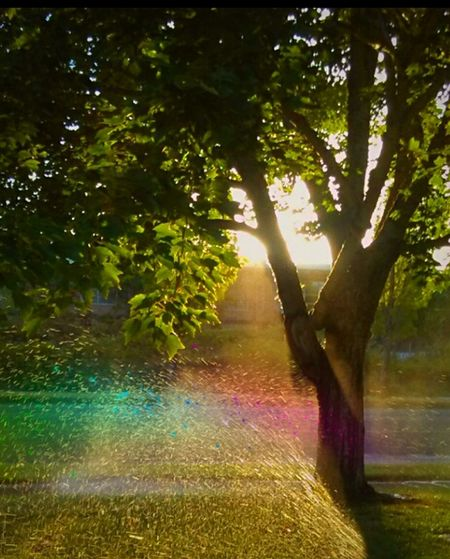 Tree Outdoors Sunlight Landscape Water Spritzphotography Watering The Grass Rainbow Photography Focus On Foreground Morning Water Drops Freshness Oregon Beauty Create Your Story I LOVE PHOTOGRAPHY Showcase June 1st Day Of Summmer Long Summer Days Good Morning Green Color Grass Fragility Right Place Right Time Sunrise_Collection Morning Light Views That Make Me Go Ahh...
