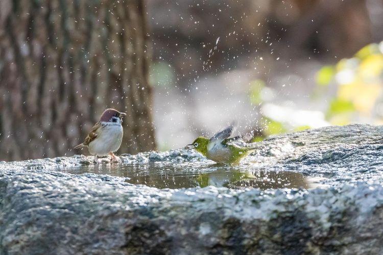はしゃぎ過ぎのメジロ White Eye OSAKA Japan Early Morning Bird Perching Cold Temperature Close-up Sparrow