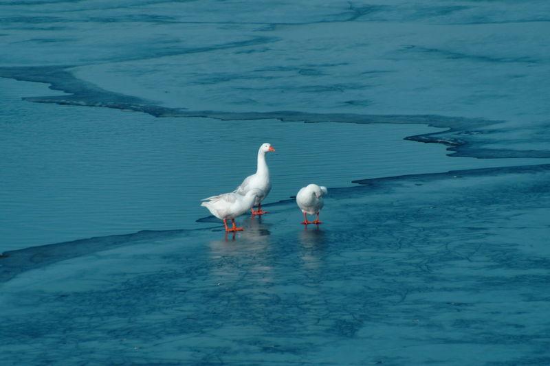 Geese perching on frozen lake