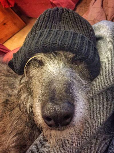 Lurcher I Love My Dog ❤ LEO... The One Eyed Lurcher... Animal Portrait Leo N Lola Sighthound Cool Hat :)