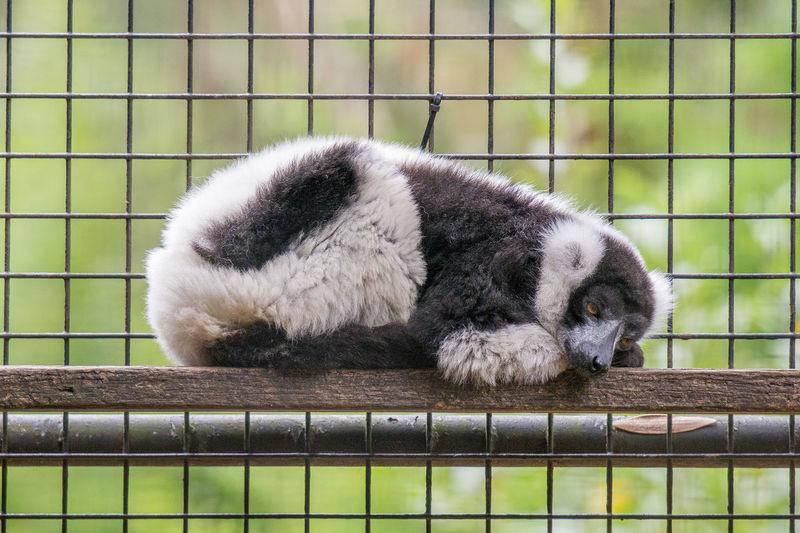 Full length of depressed animal in captivity