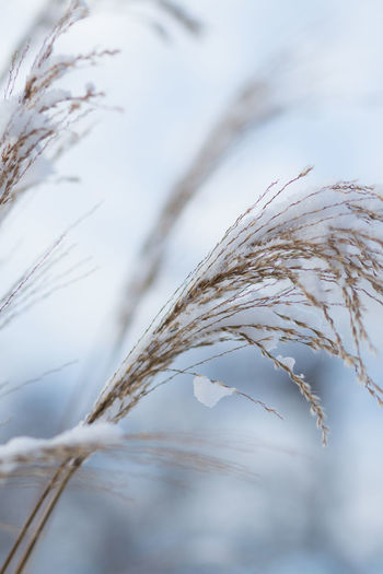 Plant Close-up Focus On Foreground No People Nature Growth Tranquility Selective Focus Beauty In Nature Crop  Agriculture Day Outdoors Winter Fragility Vulnerability  Grass Sky Cold Temperature Plant Stem Stalk Sweden Nature Winter Garden